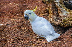 Sulphur-crested white Cockatoo, Cacatua galerita in Puerto de la Stock Photography