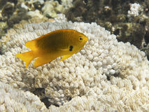 Sulphur Damsel above corals Stock Photo