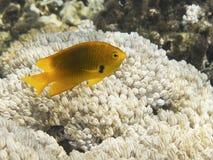 Sulphur Damsel above corals. A yellow Sulphur Damsel above corals in Marsa Alam sea. italian name: Damigella sulfurea scientific name: pomacentrus sulfureus stock photo