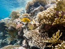 Sulphur damselfishen, och Blacktail butterflyfish fiskar på korallgar Arkivbild