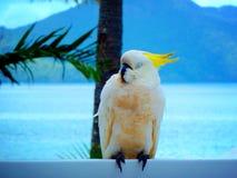 Sulphur den krönade kakaduan på den Hayman ön Queensland Australien Arkivfoton