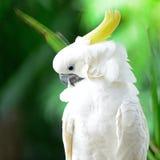 Sulphur-krönad kakadua Royaltyfria Foton