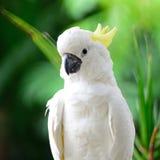 Sulphur-krönad kakadua Royaltyfria Bilder