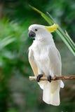 Sulphur-krönad kakadua Arkivfoto