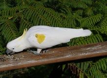 Sulphur-krönad kakadua Royaltyfri Foto