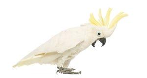 Sulphur-krönad kakadua, Cacatuagalerita, 30 gammala år, med vapen upp Royaltyfri Foto
