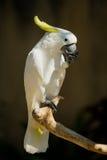 Sulphur-krönad kakadua, Cacatuagalerita Arkivbild