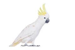 Sulphur-krönad kakadua som isoleras på vit Arkivfoto