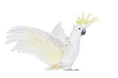 Sulphur-krönad kakadua som isoleras på vit Fotografering för Bildbyråer