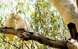 Sulphur krönad kakaduaförälskelse arkivfoton