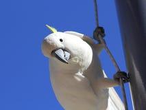 Sulphur-krönad kakaduaklättring Royaltyfria Foton