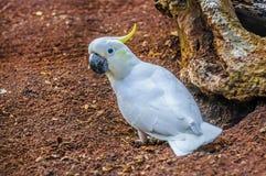 Sulphur-krönad vit kakadua, Cacatuagalerita i Puerto de la Arkivbild