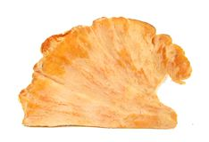Sulphur shell chicken mushroom Laetiporus sulphure. Laetiporus is a genus of edible polypores growing throughout much of the world. Also known as the sulfur royalty free stock photo