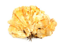 Sulphur shell chicken mushroom Laetiporus sulphure. Laetiporus is a genus of edible polypores growing throughout much of the world. Also known as the sulfur Stock Image