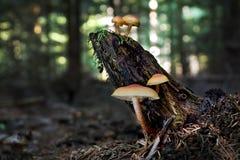 Sulphur tofsHypholoma fasciculare på stubben i sommarskog royaltyfria foton