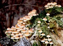 Sulphur tuft. Fungus (Hypholoma fasiculare) growing on an old mossy tree stump Stock Photo
