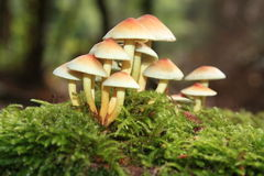 Sulphur tuft Royalty Free Stock Photography