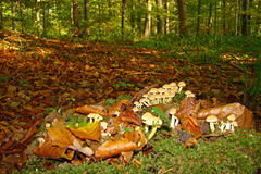 Sulphur tuft. Or clustered woodlover (Hypholoma fasciculare) in Picardy Stock Photo