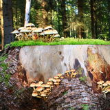 Sulphur tuft. Or clustered woodlover (Hypholoma fasciculare) in Picardy Stock Images