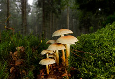 Sulphur tuft in a forest between moss. Sulphur tuft (Hypholoma fasciculare), poisonous mushrooms in a forest, between Hypnum moss (Hypnum cupressiforme) and Royalty Free Stock Photo