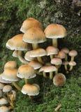Sulphur Tuft Fungi. Hypholoma fascicular Royalty Free Stock Photography