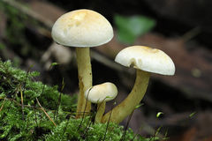 Sulphur Tuft Fungi Stock Photography