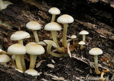Sulphur Tuft fungi Royalty Free Stock Images