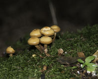 Sulphur tuft fungi Royalty Free Stock Photo