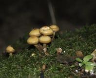 Sulphur tuft fungi. Small group of sulphurtuft fungi/mushroom in some moss Royalty Free Stock Photo