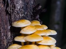 Sulphur Tuft, Hypholoma fasciculare, cluster growing on old wood macro, selective focus, shallow DOF Stock Photography