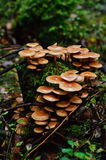 Sulphur tuft mushrooms Royalty Free Stock Photos