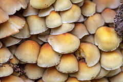 Sulphur Tuft mushrooms (Hypholoma fasciculare). Growing on a tree trunk Royalty Free Stock Photo