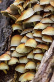 Sulphur Tuft mushrooms (Hypholoma fasciculare) Royalty Free Stock Photos
