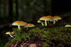 Sulphur Tuft Stock Photography
