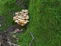 Sulphur tuft, sulfur tuft or clustered woodlover - Hypholoma fasciculare Stock Photo