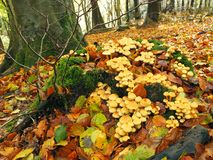 Toadstools. Sulphur tuft toadstools growing on an old tree stump Royalty Free Stock Photography