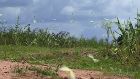 Sulphur yellow butterflies on migration. Sulphur yellow butterflies flying in large group stock footage