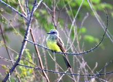 Sulphuratus de pitangus d'oiseau sur la branche sèche Image libre de droits