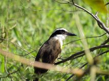 Sulphuratus pitangus πουλιών στους κλάδους στοκ εικόνα με δικαίωμα ελεύθερης χρήσης