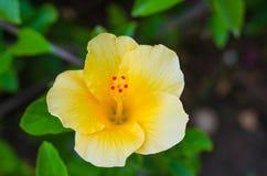 Sulphureus alaranjado do cosmos da flor do verão, fundo verde, luz ensolarada das flores amarelas da mola close up amarelo do jar imagem de stock