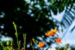 Sulphureus amarillo Cav del cosmos Fotografía de archivo libre de regalías