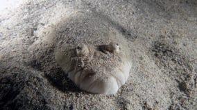 Sulphureus d'Uranoscopus ou astronome de Whitemargin images stock