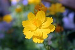 Sulphureus de cosmos, cosmos jaune, cosmos de soufre Photographie stock