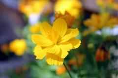 Sulphureus de cosmos, cosmos jaune, cosmos de soufre Photos libres de droits
