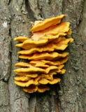 Sulphureus di Laetiporus del fungo di sostegno Immagine Stock Libera da Diritti