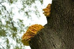 Sulphureus Laetiporus гриба на дереве Стоковые Фотографии RF
