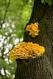 Sulphureus Laetiporus гриба на дереве Стоковое Фото