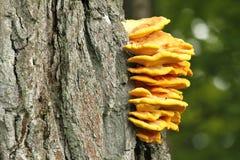 Sulphureus Laetiporus Στοκ Εικόνες