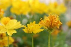Sulphureus sélectif de foyer-cosmos, cosmos jaune, cosmos de soufre Photos stock