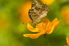 Sulphureus Sunny Yellow, type de cosmos de Klondyke Images libres de droits
